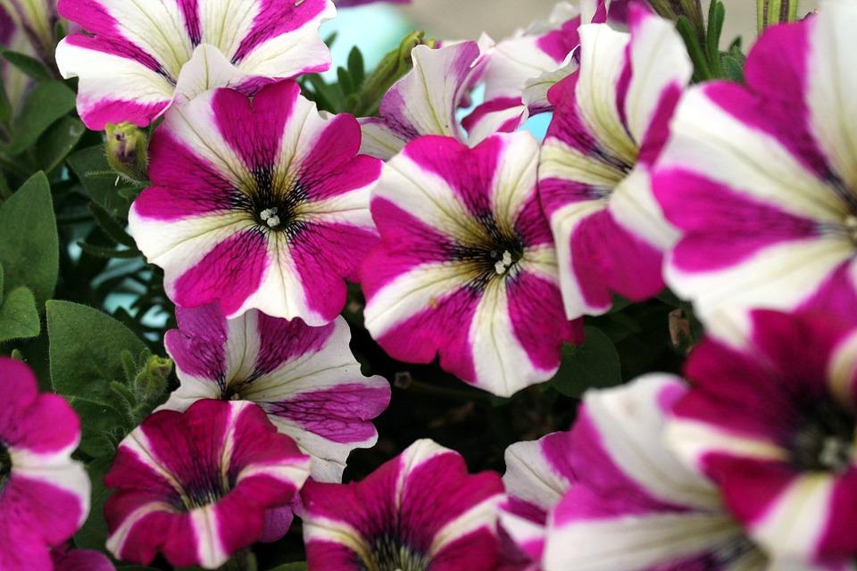 Flower, Petunia, Purple, Pink, White, Nature, Bloom