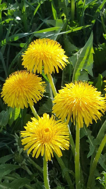 Dandelion, Blossom, Bloom, Flower, Nature, Yellow