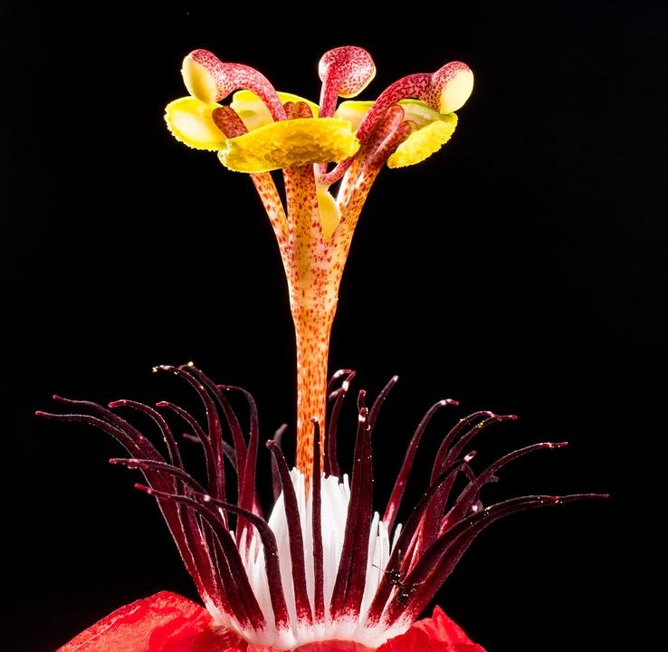Passion Flower, Flower, Blossom, Bloom, Red