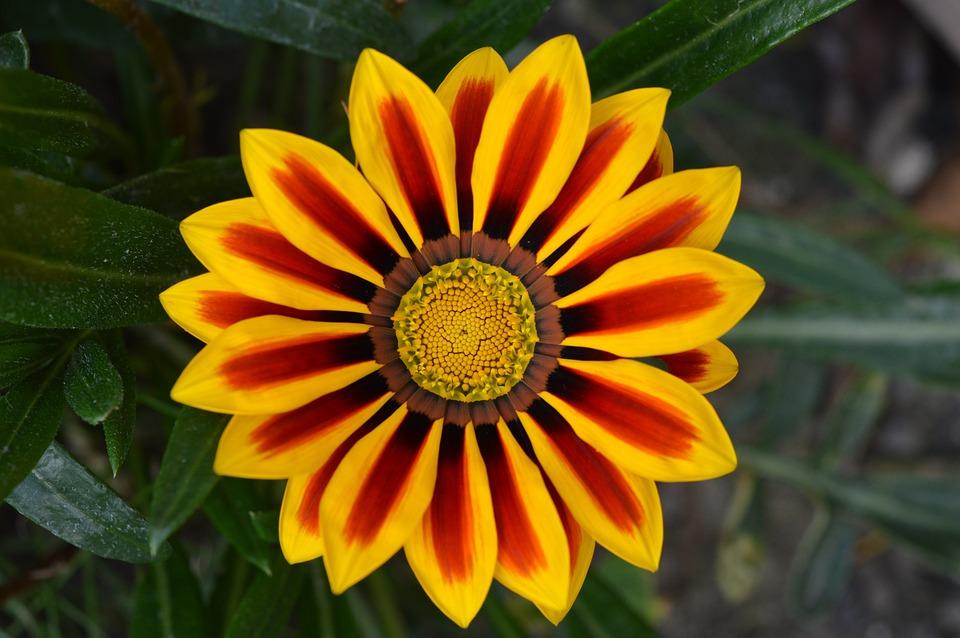 Flower, Petals, Bloom, Bicolored Flower