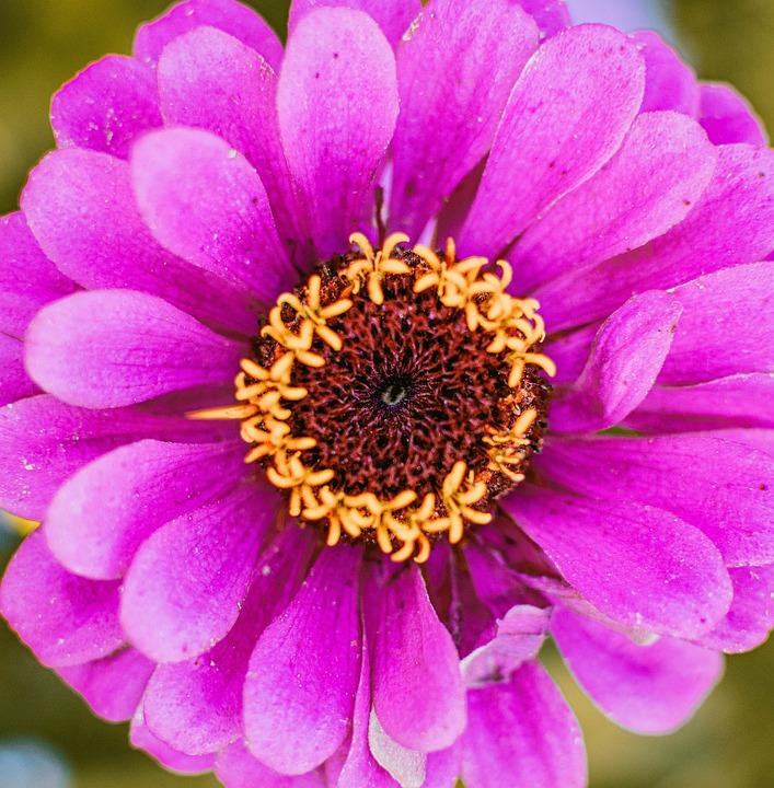Zinnia, Pink Zinnia, Flower, Pink Flower, Petals, Bloom
