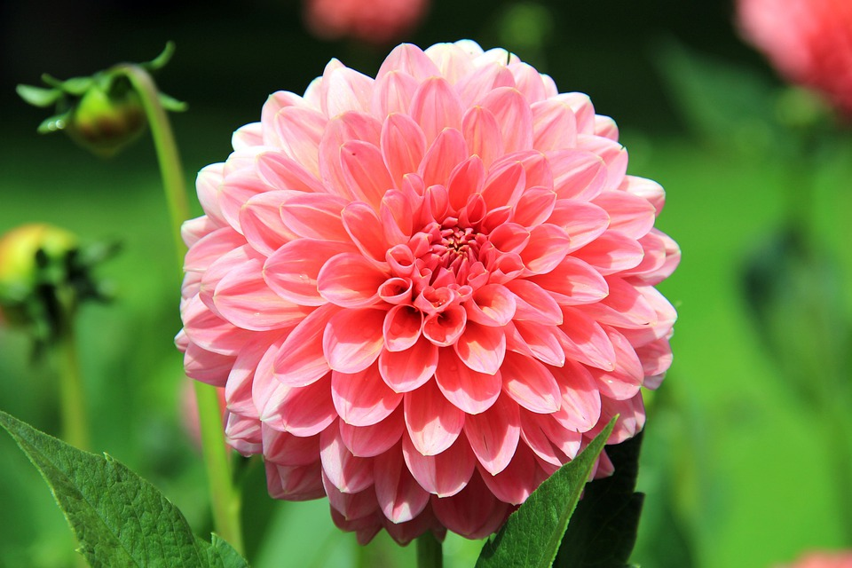 Flower, Dahlia, Blossom, Bloom, Plant, Pink