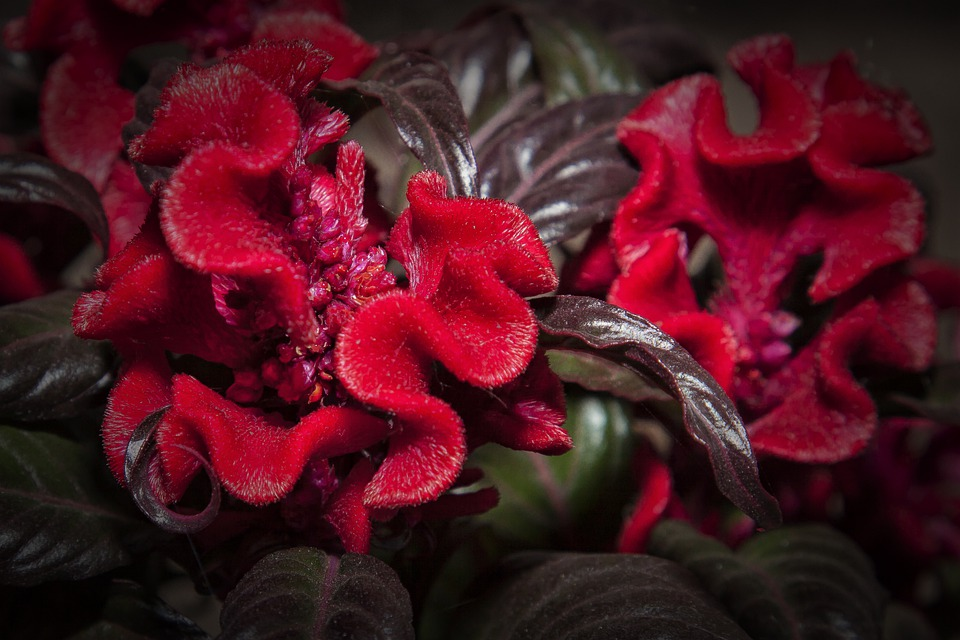 Celosia, Red, Flower, Blossom, Bloom, Nature, Plant