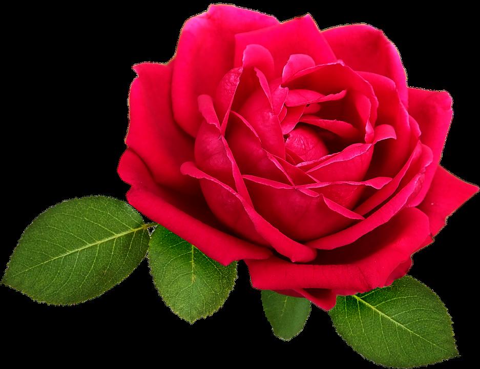 Flower, Rose, Bloom, Leaves, Pink, Red