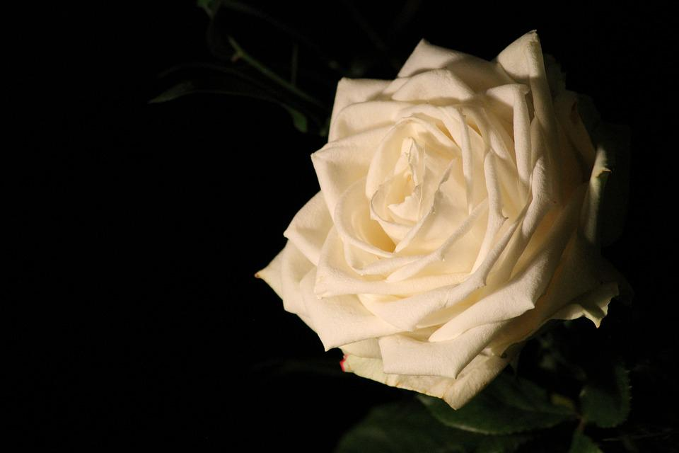 White Rose, Romantic, Blossom, Bloom, Flower, Wedding