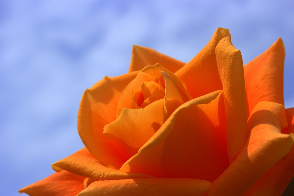Rose, Orange, Flowers, Summer, Flower, Roses, Bloom