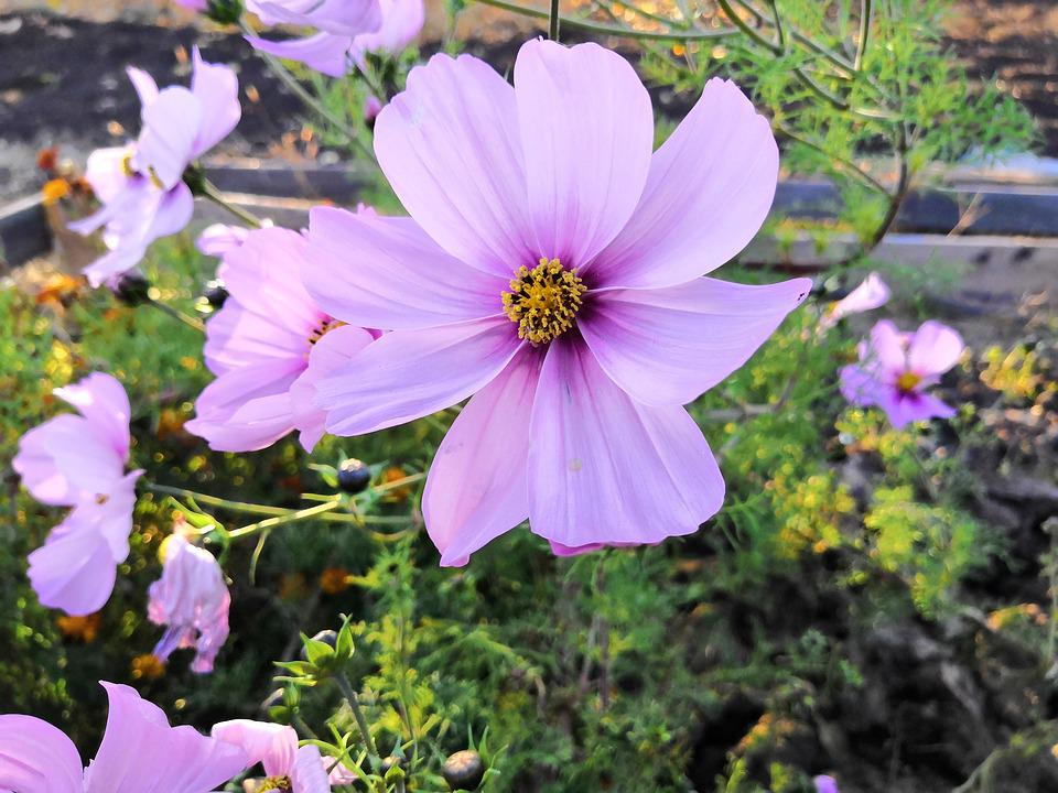 Cosmos, Violet, Lilac, Flower, Bloom