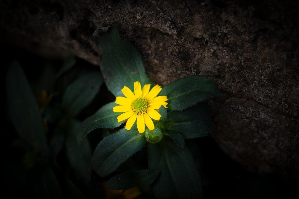 Hussar Button, Flower, Blossom, Bloom, Yellow, Garden