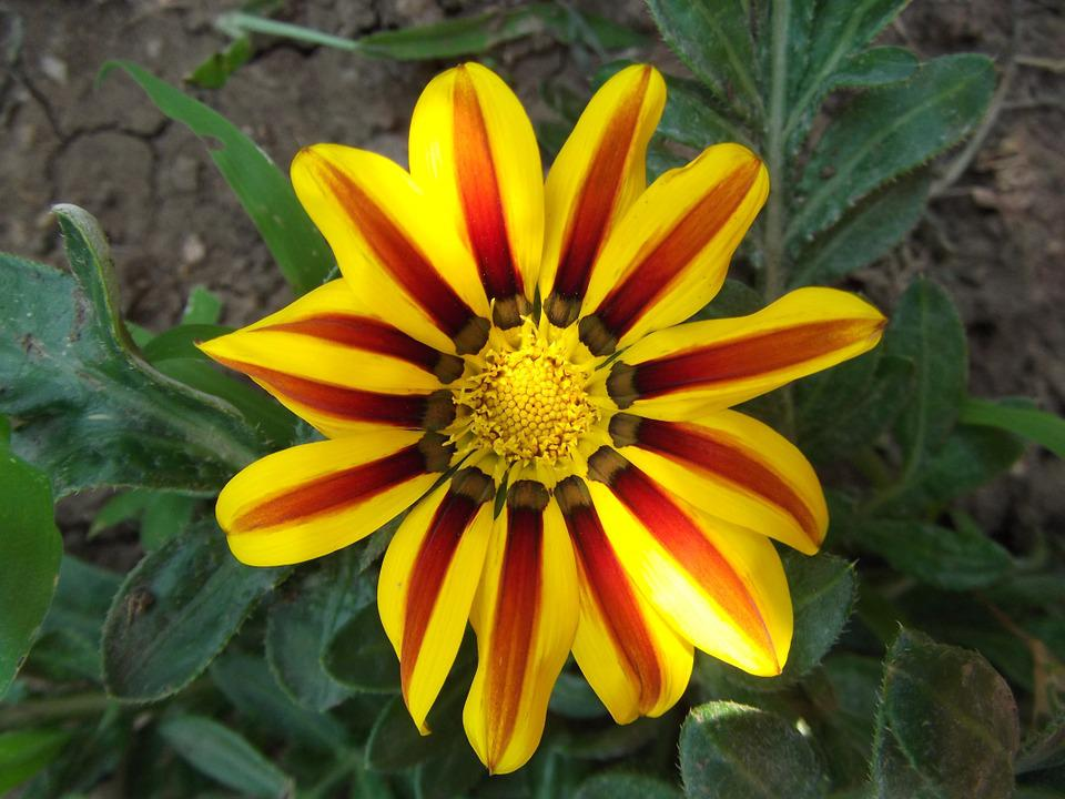 Flower, Yellow, Red, Striped, Stripes, Garden, Bloom