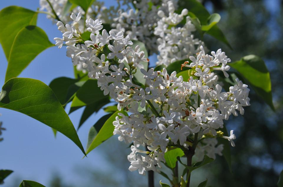 Lilac, Flower, Floral, Blossom, White, Bloom, Blooming