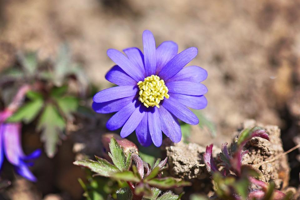 Balkan Anemone, Blue, Flower, Plant, Blossom, Bloom