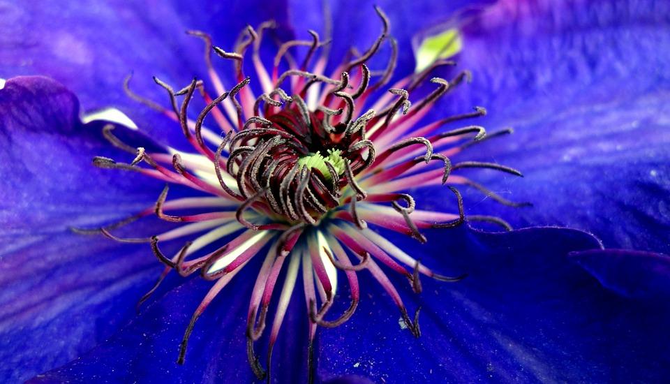 Clematis, Blossom, Bloom, Violet, Bloom, Flower