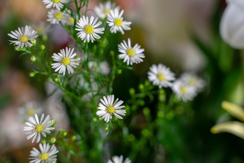 Magareten, Flower, Chamomile, Plant, Blossom, Bloom