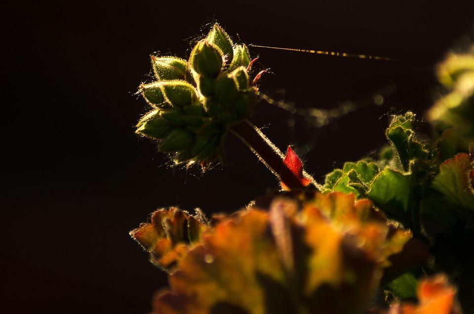 Bud, Flower, Cobwebs, Dahlia, Blossom, Bloom, Plant
