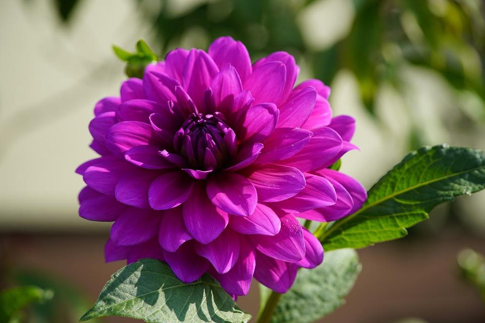 Dahlia, Flower, Plant, Purple Flower, Bloom, Blossom