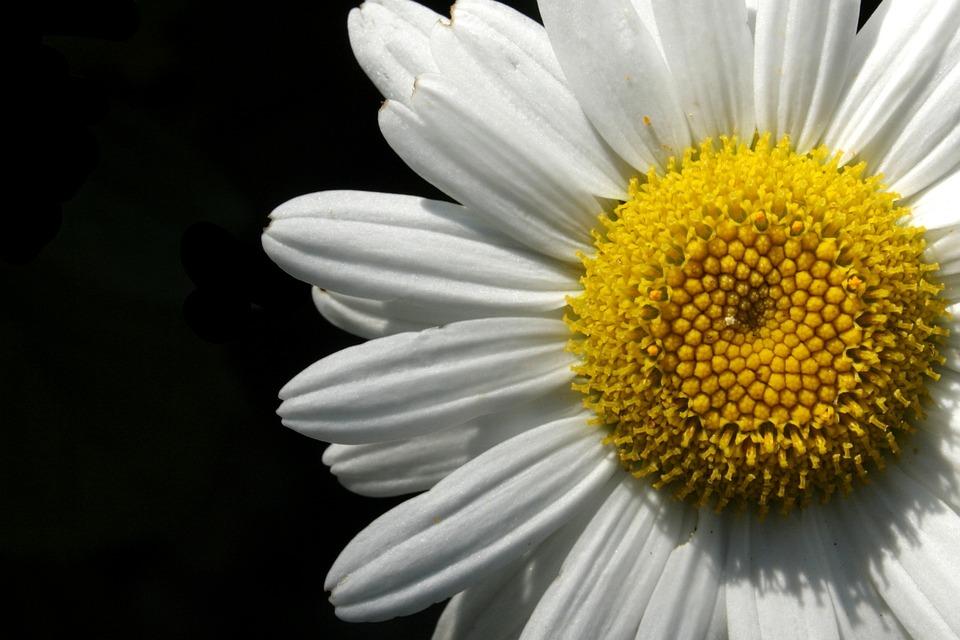 Flower, Close, White, Blossom, Bloom, Yellow, Margarite