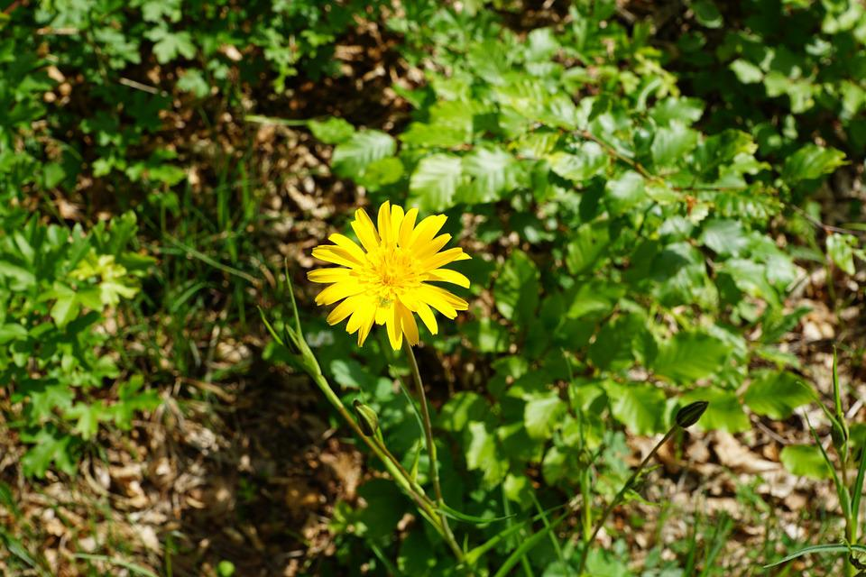 Reported Hawksbeard, Flower, Yellow, Bloom, Blossom