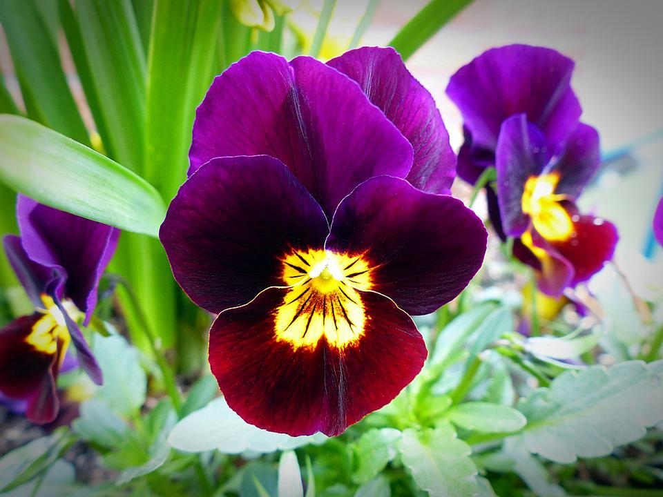 Flower Blossom, Pansy, Plant, Close, Spring, Blue