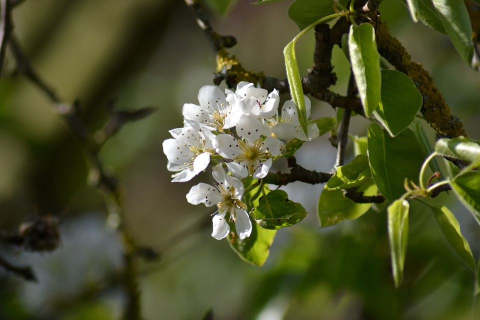 Pear, Blossom, Flower, Pink, Pyrus, Close-up, Bud