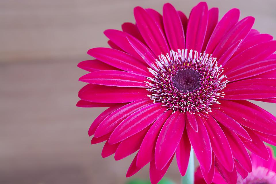 Gerbera, Flower, Blossom, Bloom, Petals, Pink
