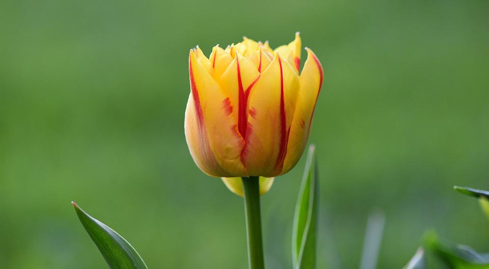 Flower, Tulip, Blossom, Bloom, Yellow Red, Half Closed