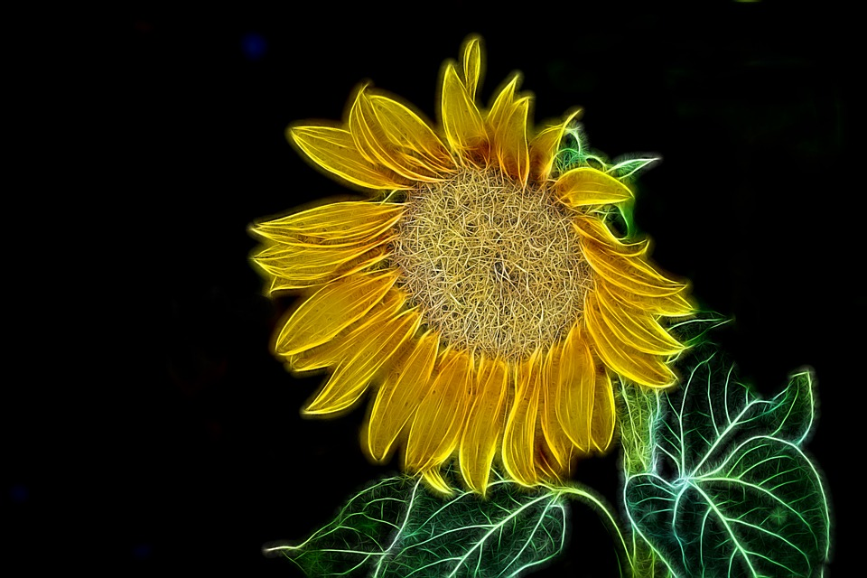 Graphic, Light Painting, Flower Blossom, Sunflower