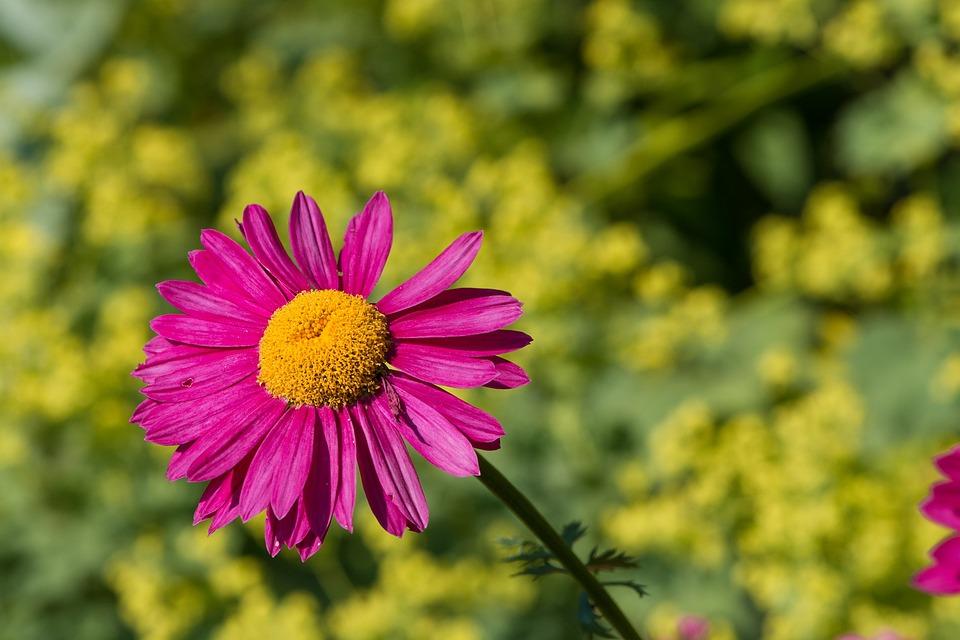 Marguerite, Flower, Pink, Blossom, Bloom, Pink Blossom