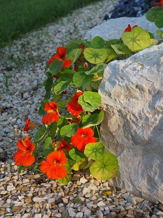 Nasturtium, Flower, Red, Blossom, Bloom, Garden