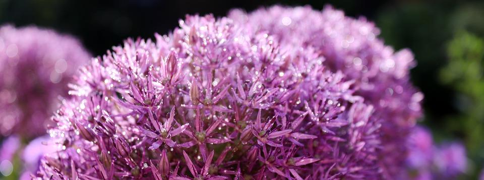 Blossom, Bloom, Nature, Flower, Morgentau