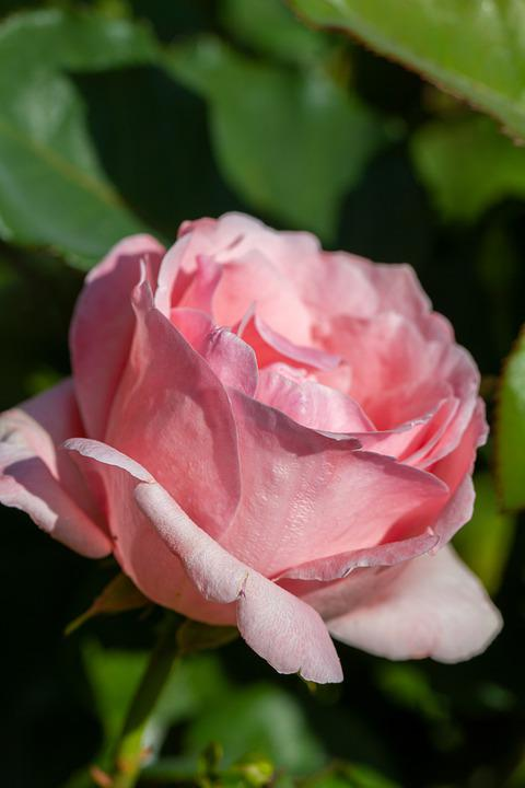 Rose, Flower, Pink, Nature, Blossom, Bloom, Rose Bloom