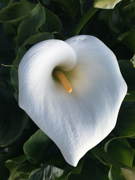 Calla, Lily, Flower, Nature, Bloom, Plant, Blossom