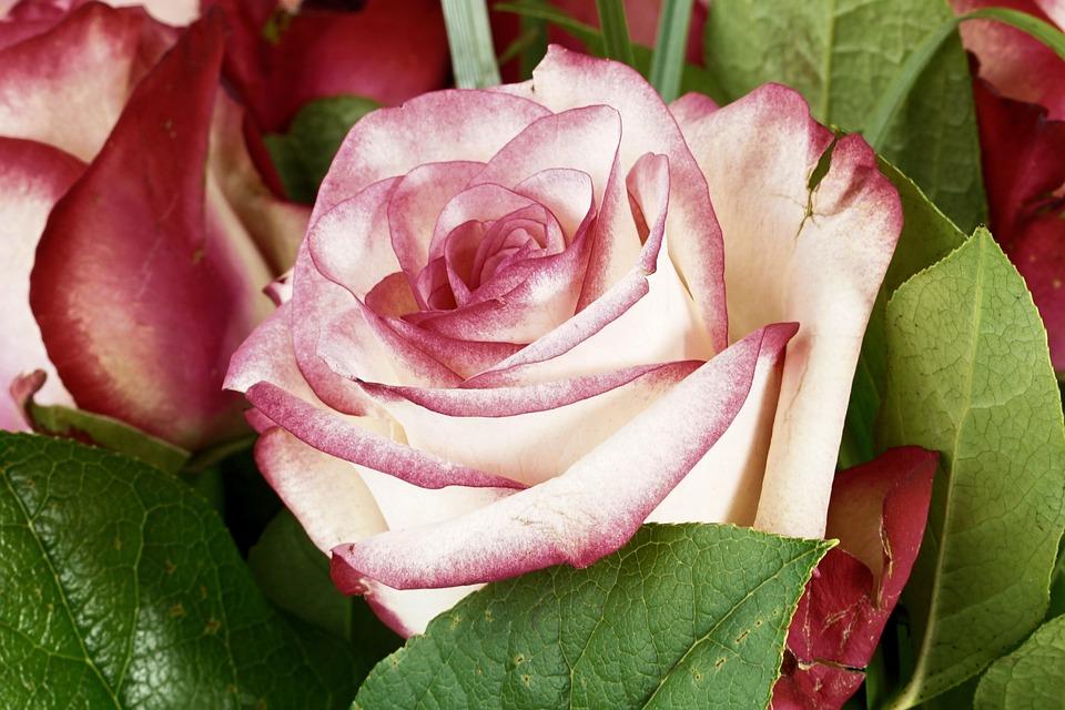 Rose, Pink, Flower, Blossom, Bloom, Rose Bloom, Nature
