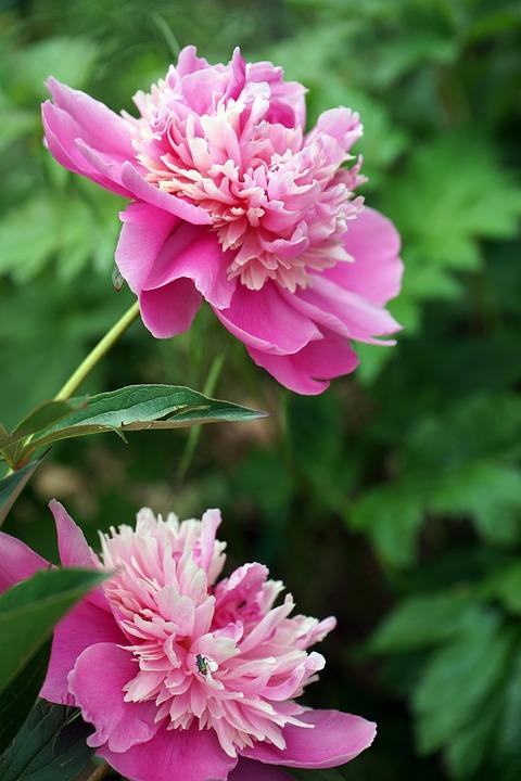 Peony, Nature, Flower, Blossom, Bloom, Plant, Spring