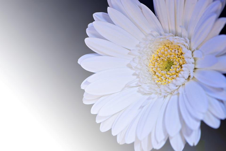 Gerbera, Flower, Blossom, Bloom, Petals, White