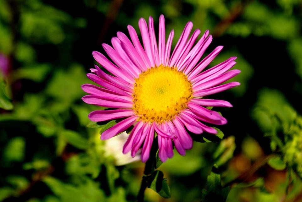 Flower, Pink, Blossom