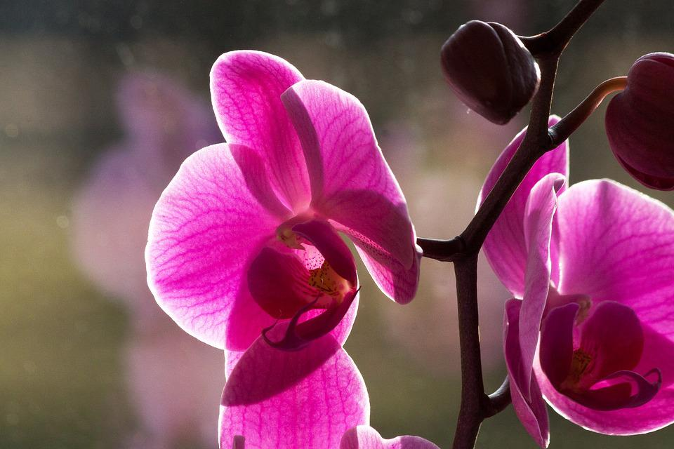 Orchid, Pink, White, Flower, Blossom, Bloom, Bud, Flora