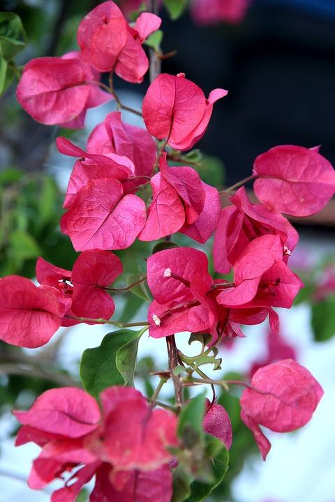 Flower, Blossom, Bloom, Close, Plant, Red, Macro