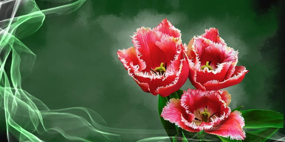 Tulip, Flower, Plant, Blossom, Bloom, Spring, Flora