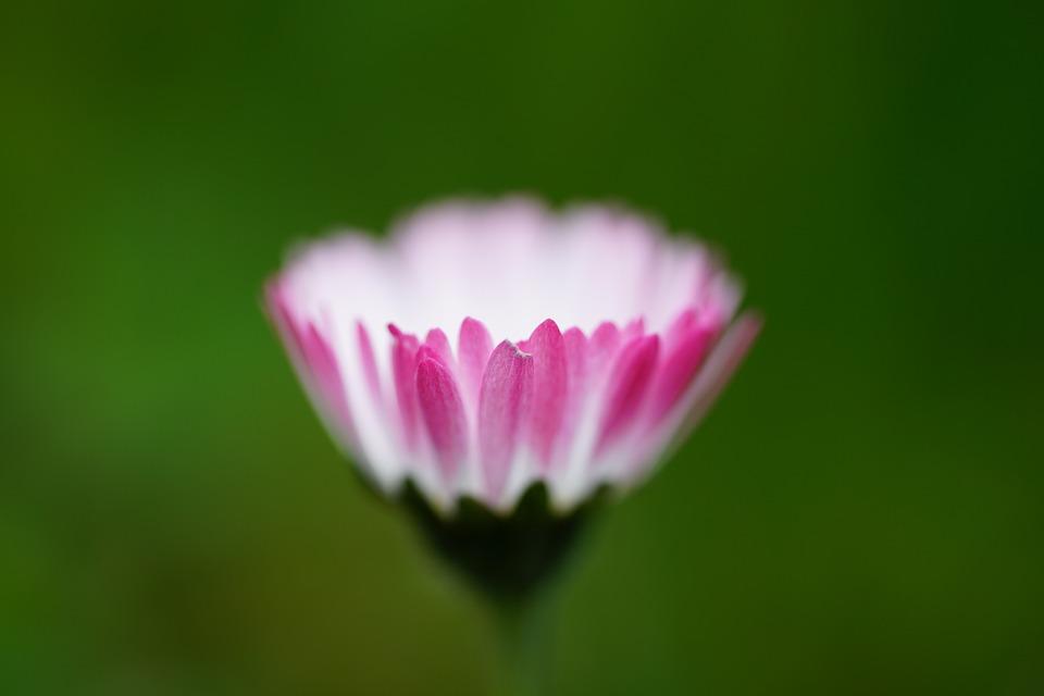 Daisy, Flower, Blossom, Bloom, Bellis Philosophy, Red