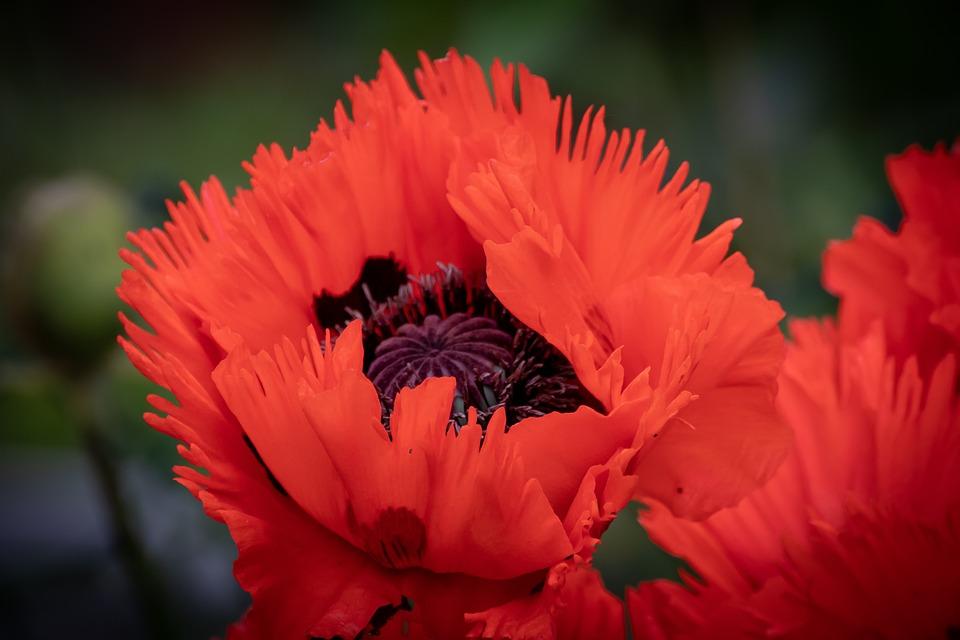 Poppy, Flower, Blossom, Bloom, Klatschmohn, Petals, Red