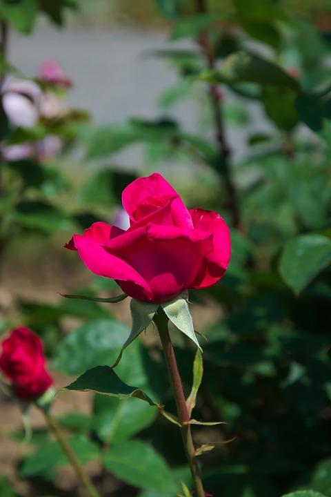 Rose, Red, Blossom, Bloom, Flower