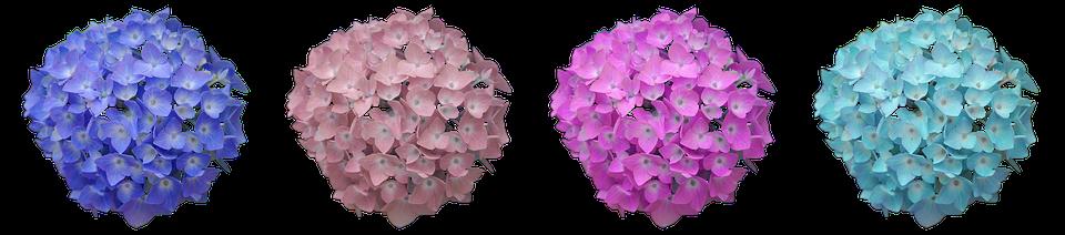 hydrangea flower hydrangea flower summer blossom