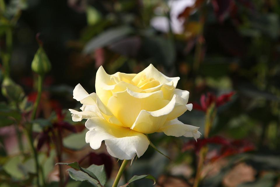 Rose, Nature, White, Yellowish, Flower, Blossom, Bloom