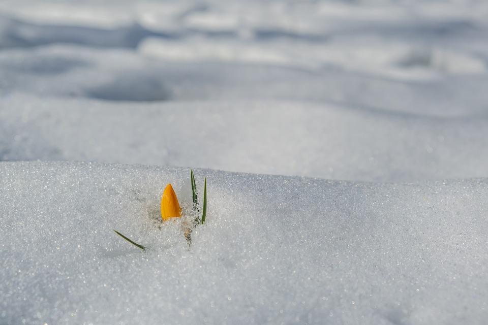 Crocus, Flower, Snow, Winter, Frost, Cold, Blossom