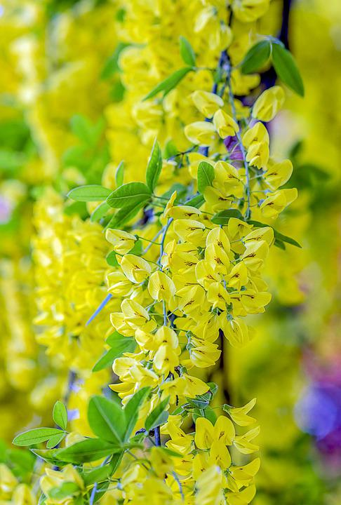 Laburnum, Blossom, Yellow, Tree, Bloom, Nature, Flower