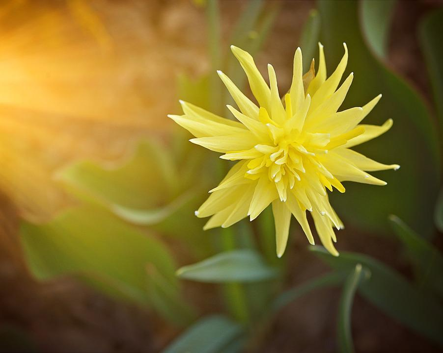 Narcissus, Flower, Plant, Blossom, Bloom, Yellow