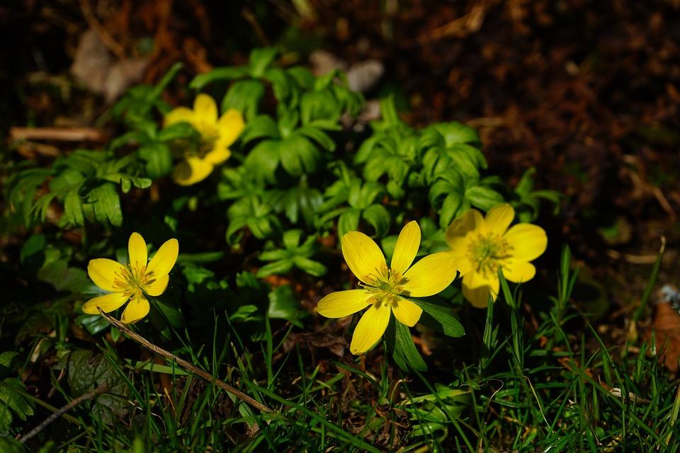 Winterling, Flower, Blossom, Bloom, Yellow