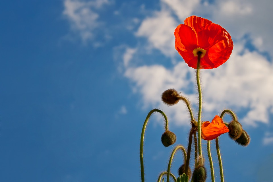 Poppy, Sky, Blue, Nature, Flower, Blossom, Bloom, Plant