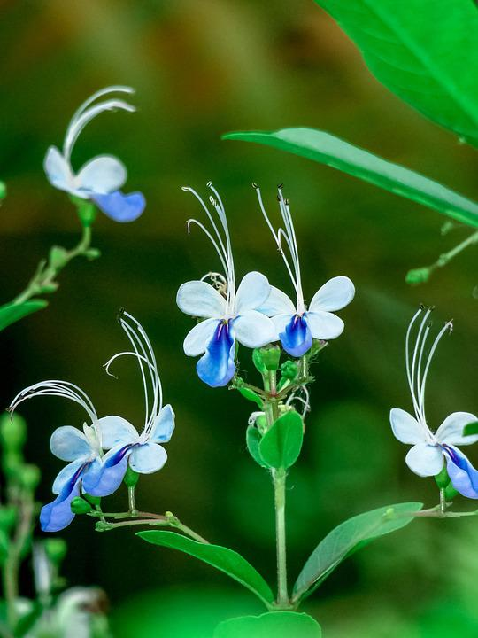 Blue Butterfly Flower, Nature, Flower, Plant, Leaf