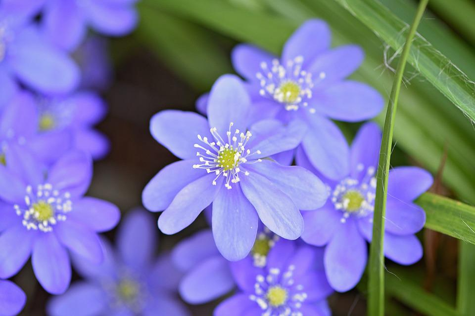 Hepatica, Flower, Flowers, Blue, Blue Flower